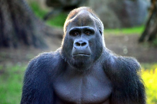 how many hairs do gorillas have?