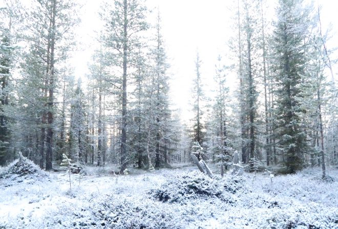 snow covered swedish forest